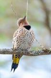 愉快的黄色有羽轴的忽悠-在春天树枝的Colaptes auratus 免版税图库摄影