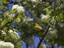 愉快的黄色Wilsons鸣鸟鸟开花的树 库存图片