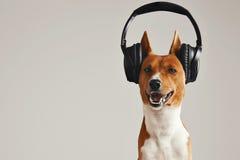 愉快的basenji狗佩带的耳机 免版税库存图片