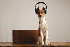 愉快的basenji狗佩带的耳机 库存照片