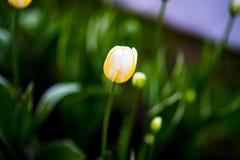 愉快的peoplein黄色郁金香品种每春天从事园艺 免版税库存图片