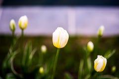 愉快的peoplein黄色郁金香品种每春天从事园艺 免版税库存照片
