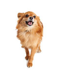 愉快的Pomeranian杂种狗 库存图片