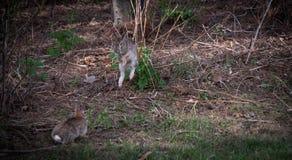 愉快看您-跳跃的野兔 免版税库存图片
