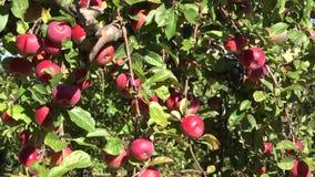 意外收获苹果在地面和树枝成熟红色果子说谎 下来掀动 4K 股票视频