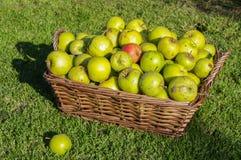 意外收获苹果在柳条筐在秋天收集了 库存照片