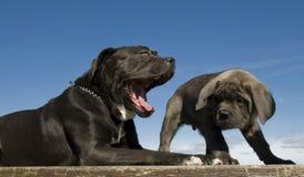 意大利大型猛犬母亲小狗 免版税库存照片