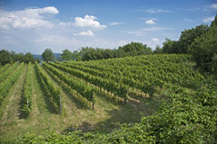 意大利小山的葡萄园 免版税库存照片