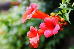 意大利忍冬属植物,茎贯穿叶而生长忍冬属植物忍冬属caprifolium 免版税图库摄影
