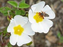 意大利托斯卡纳maremma,地中海森林,与授粉的蜂的罂粟科植物野花 免版税库存照片