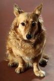 意大利杂种狗2436 免版税图库摄影