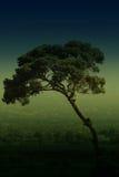 意大利杉木石头结构树 免版税库存图片