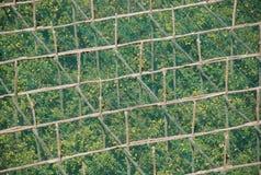 意大利柠檬种植园索伦托 免版税库存照片