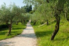 意大利橄榄树小树林 免版税图库摄影