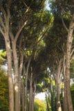 意大利石松森林 库存图片