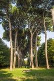 意大利石松森林 图库摄影