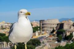 意大利罗马 在罗马斗兽场前的一只海鸥在胜者伊曼纽尔II纪念碑 免版税图库摄影
