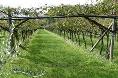 意大利葡萄园在秋天 免版税库存照片