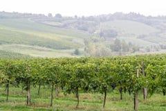 意大利葡萄园 库存照片