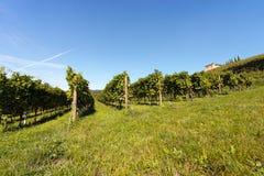 意大利葡萄园- Valpolicella酒 库存图片