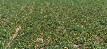 意大利蕃茄领域 免版税库存图片