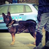 意大利警犬,当巡逻城市街道在前时 免版税图库摄影