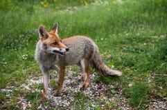 意大利逗人喜爱的Fox在翁布里亚 免版税库存图片