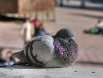 意大利鸽子siena托斯卡纳 库存照片