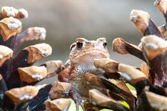 意大利,在杉木锥体中的青蛙皮 库存照片