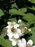 意大利,托斯卡纳,格罗塞托Maremma,蜂寻找在莓果花,黑莓的花粉 免版税库存照片