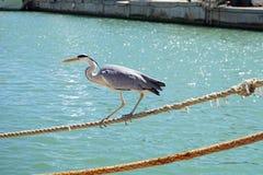 意大利,托斯卡纳, Maremma,卡斯蒂廖内德拉佩斯卡伊阿,一只灰色苍鹭沿口岸的运河走,在游人中 库存图片