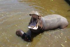 意大利,普利亚,法萨诺,河马在zoosafari的水中 免版税库存照片