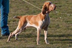 意大利Bracco,一个指向的猎犬品种 库存照片