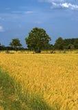 意大利wheatfield 免版税库存照片