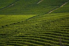 意大利wineyards 库存照片