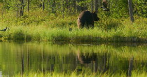 任意居住在森林的大成人棕熊 股票录像
