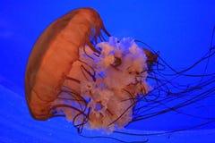 意志薄弱的人水母 免版税库存图片