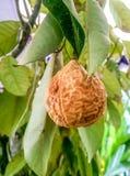 意想不到的亚洲果子 免版税库存照片