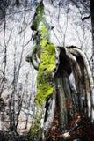 意想不到的老树 免版税库存照片