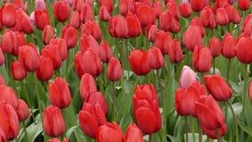 意想不到的花-在公园种植的郁金香 股票视频