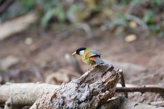 意想不到的野兽和在哪里发现他们- Leiothrix argentauris 库存图片
