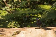意想不到的野兽和在哪里发现他们- Myophonus caeruleus 库存照片