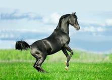 任意抚养在夏天领域的黑阿拉伯公马 免版税库存图片