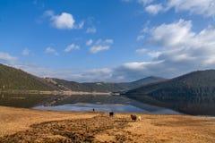 任意漫游在Shudu湖的马在Shangrila 免版税库存照片