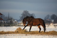 任意跑在冬天的布朗马 库存照片