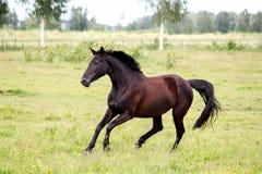 任意跑在牧场地的美丽的黑马 免版税库存照片