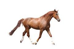 任意跑在白色背景的栗子棕色马 库存图片