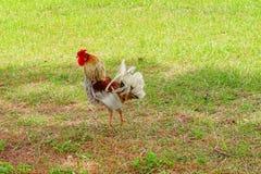 任意移动本质上在USF校园的领域的一只五颜六色和美丽的公鸡或雄鸡鸟 免版税库存照片
