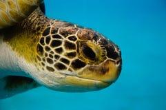 愚人海龟特写镜头 库存图片