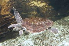 愚人海龟 库存图片